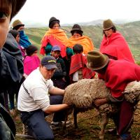 Group getting ready to sheer a sheep